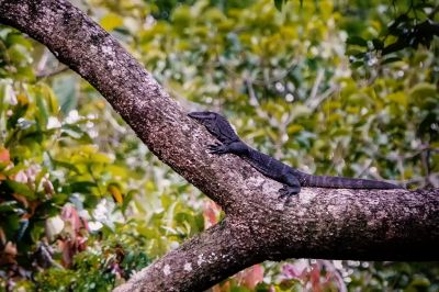 Rauhnackenwaran / Roughneck monitor lizard - Black roughneck monitor lizard