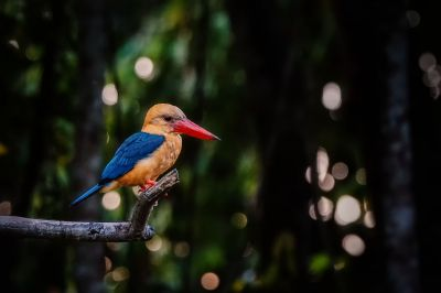 Storchschnabelliest / Stork-billed Kingfisher
