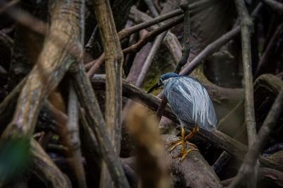 Mangrovereiher / Striated Heron - Mangrove Heron -  Little Heron -  Green Backed Heron