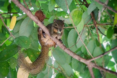 Bananenhörnchen / Plantain squirrel - Tricoloured squirrel - Oriental squirrel