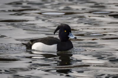 Reiherente (M) / Tufted Duck