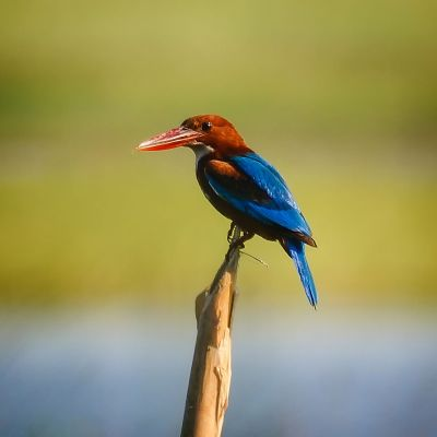 Braunliest / White-throated Kingfisher