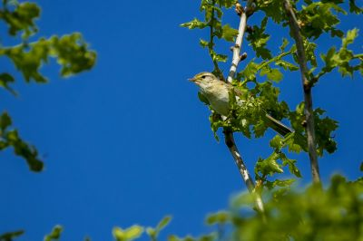 Fitis / Willow Warbler