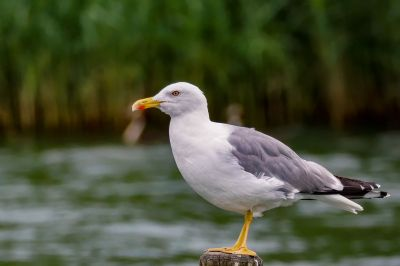 Mittelmeermöwe / Yellow Legged Gull
