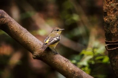 Goldschnäpper (W) / Yellow-rumped Flycatcher