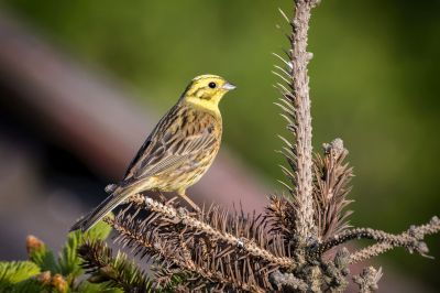 Goldammer (M) / Yellowhammer